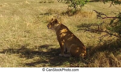 lioness hunting in savanna at africa