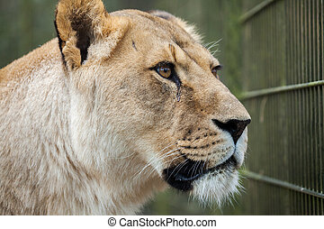 lioness in a compound