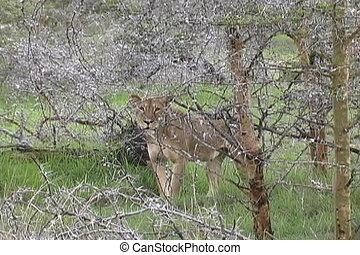 Lioness walks through Acacia Trees