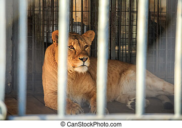 Lioness in captivity in zoo behind bars - Close up beautiful...