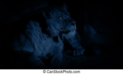 Lioness In Cave At Night - Female lion in her den looks...