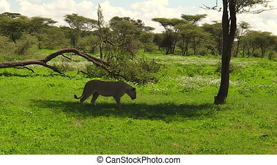 lioness in Ndutu - one lioness resting in the shadow of the...