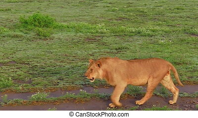 African lioness walking on the grass of Serengeti National Park, Tanzania in Africa.