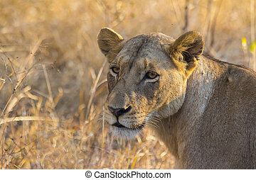 Lioness in the wild 2