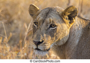 Lioness in the wild 3