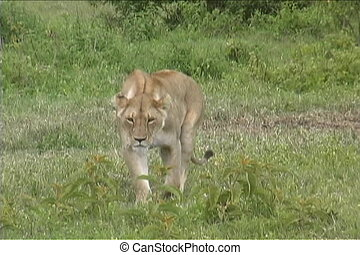 Lioness laying down - Lioness walks over to a cool spot to...