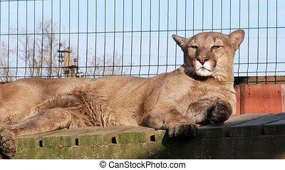 Lioness lie summer sun video