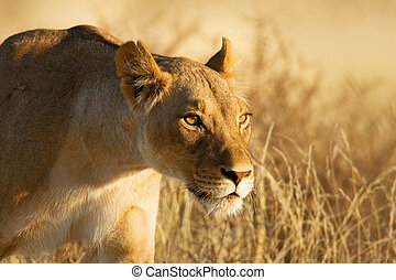 Lioness - Lion; female; panthera leo; South Africa; Kalahari...
