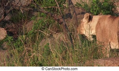 Lioness looking at cub - Lioness (Panthera leo) looking at...