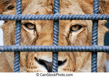 Lioness looking through zoo bars.