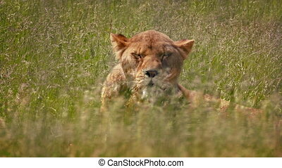 Lioness Looks Up As Wind Shakes The Grass - Female lion in...