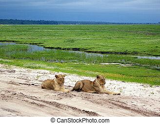 lioness lying on the sand road in savanna, Botswana - wild...
