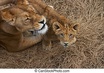 Lioness mother and her young