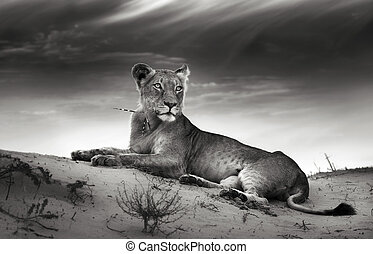 Lioness on desert dune (Artistic processing)