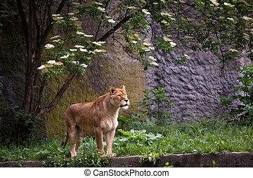 Lioness on the grass in Warsaw zoo