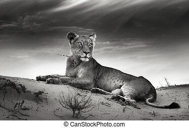 lioness, op, woestijn, duin