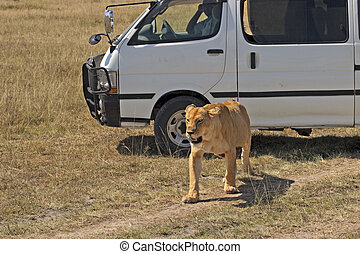 lioness pass by car with tourists