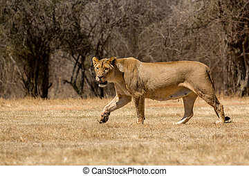 Lioness - A lioness strolling around in the dry savannah...