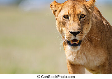 Lioness - Portrait of lioness in central Serengeti national...