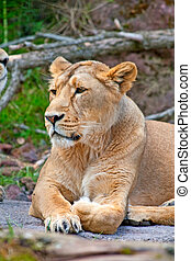 Lioness (female lion) in the zoo