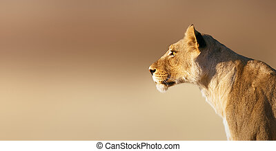 Lioness portrait - Lion; female; panthera leo; South Africa