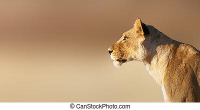 Lion; female; panthera leo; South Africa