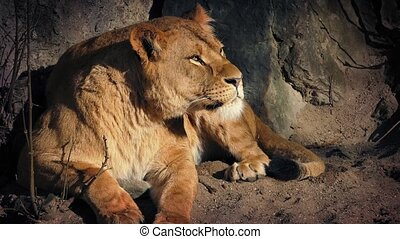 Lioness Resting In Cave On Hot Day