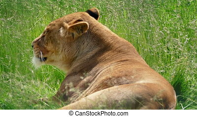 Lioness Resting In Long Grass