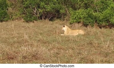lioness resting in savanna at africa