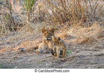 Lioness Resting in the Early Morning with her Cub in the Grass as the Sun Rises