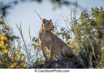 Lioness sitting on a rock in Chobe.