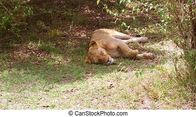 lioness sleeping in savanna woods at africa