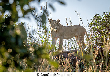 Lioness standing on a rock in Chobe.