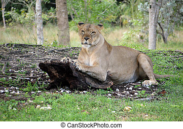Lioness Stire down - A lioness streched out sharpening her...