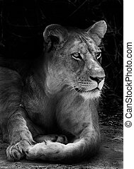 Lioness - Wild African lion resting in the shade