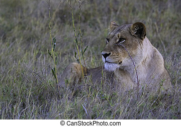 Lioness Keeping Watch