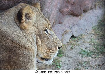 Lioness in Toronto ZOO