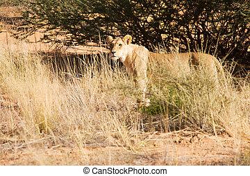 Lioness walking alone