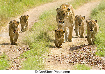 lioness walking her five cubs through Kenya's Masai Mara