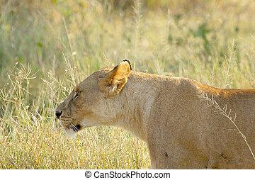 Lioness walking in the grassland
