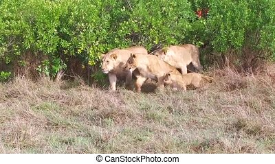 lioness with cub in savanna at africa - animal family ,...