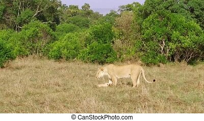 lioness with cub playing in savanna at africa - animal...
