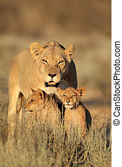 Lioness with cubs - Lioness with young lion cubs (Panthera...