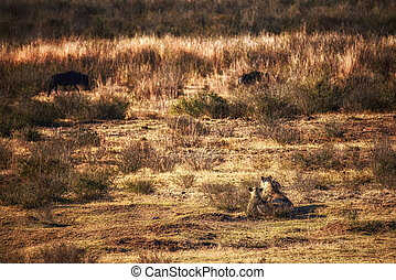 Lionesses near wildebeest on the hunt