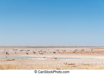 Lionesses watching oryx, springbok and Burchells zebras -...