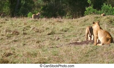 lionesses with cub playing in savanna at africa - animal...