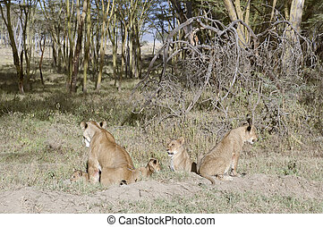 Lionesses with cubs