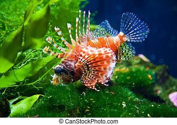 lionfish, 赤
