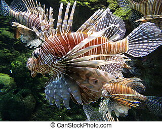 Lionfish 5 - Pterois, commonly known as lionfish, is a genus...
