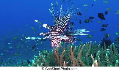 Lionfish aka Turkeyfish, Pterois miles, Papua New Guinea, Milne Bay